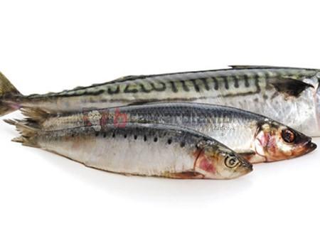 sarden, gizi ikan sarden, manfaat ikan sarden