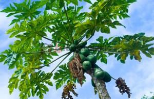 daun pepaya, manfaat daun pepaya, khasiat daun pepaya, jus daun pepaya
