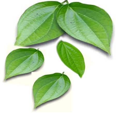manfaat sirih, manfaat daun sirih, khasiat daun sirih, air daun sirih, rebusan daun sirih