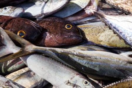 keracunan ikan, penyebab keracunan ikan, pengobatan keracunan ikan, gejala keracunan ikan