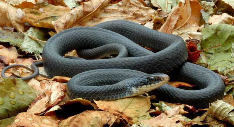 pertolongan pertama pada gigitan binatang berbisa, cara mengatasi gigitan ular berbisa, pengobatan gigitan ular berbisa, penanganan gigitan ular berbisa, cara mengobati gigitan ular berbisa