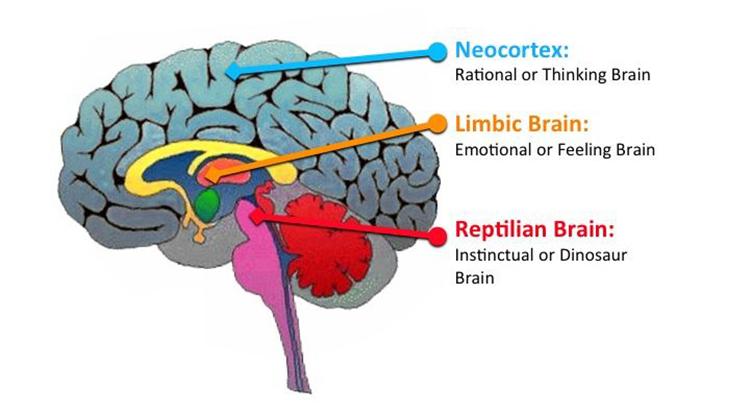 otak reptil, pengertian otak reptil atau batang otak, fungsi otak mamalia, otak limbik, karakteristik otak reptil, otak neokorteks, fungsi neokorteks